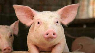 生猪生产呈现明显恢复势头 分区防控不会推动猪价上涨