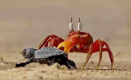 沙蟹欺负小海龟:场面让人怜惜,但又忍俊不禁